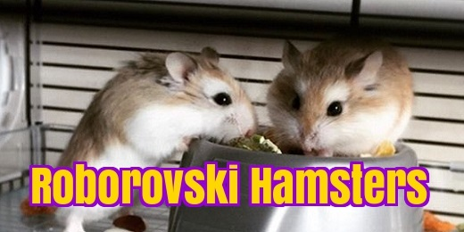 robo dwarf hamster care roborovski facts. Black Bedroom Furniture Sets. Home Design Ideas
