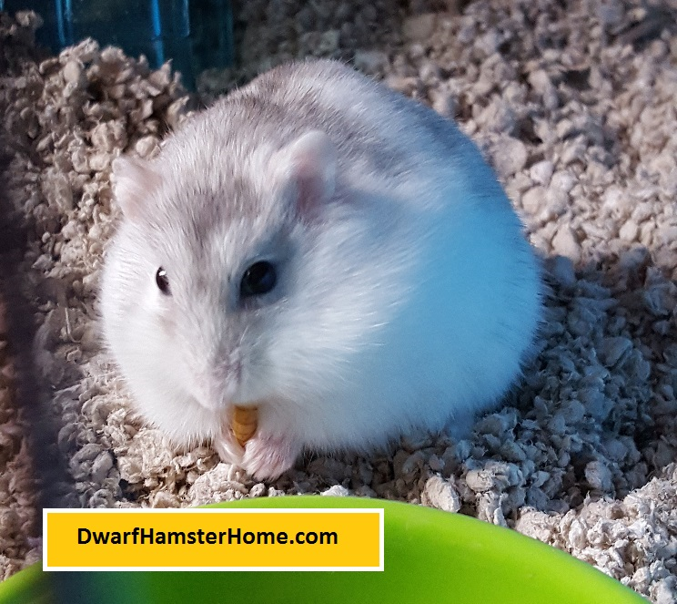 domestic old born stock with new bed photo mother hamster litter day bedding syrian