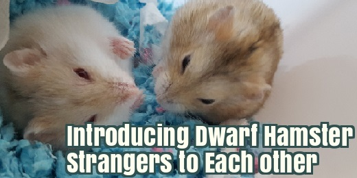Introducing Dwarf Hamsters