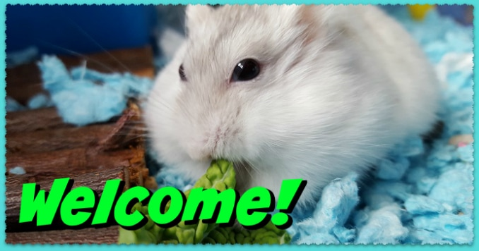 Dwarf Hamster Care | Roborovski, Russian & Chinese Hamsters